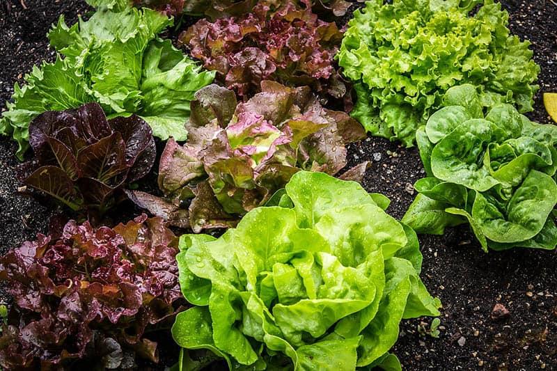 Šalát - čo s čím sadiť v záhrade
