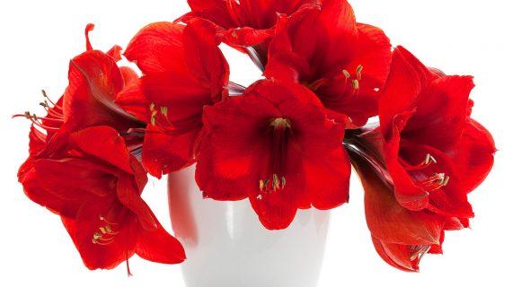 Červený amarylis