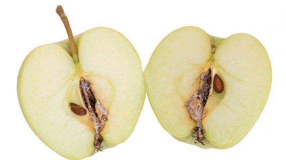 Obaľovač jablčný - napadnuté jablko