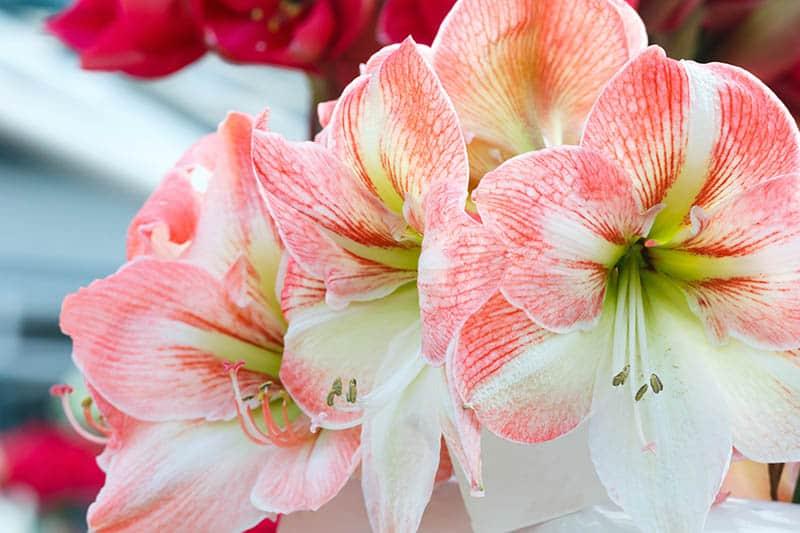 Ružový amarylis