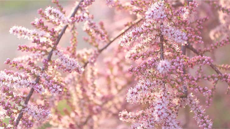Tamariška kvety