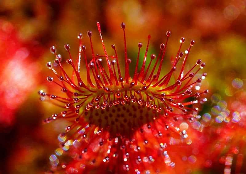 Rosička - mäsožravé rastliny