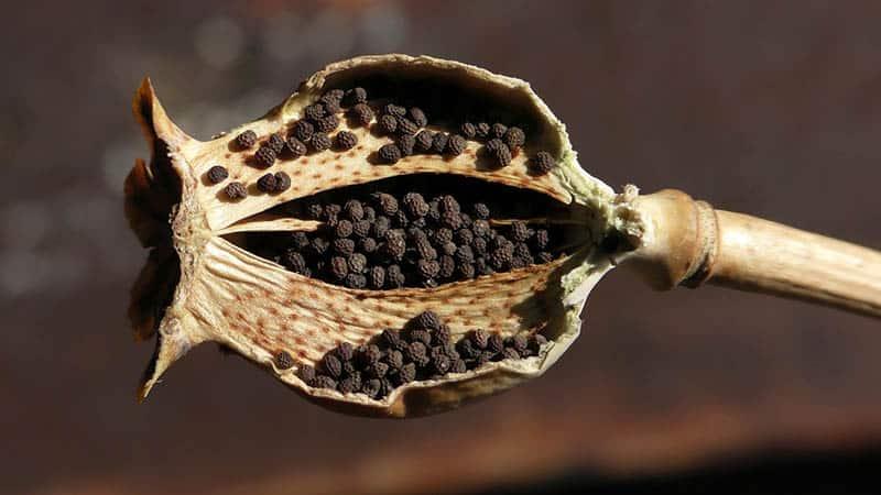 Vlčí mak - semená