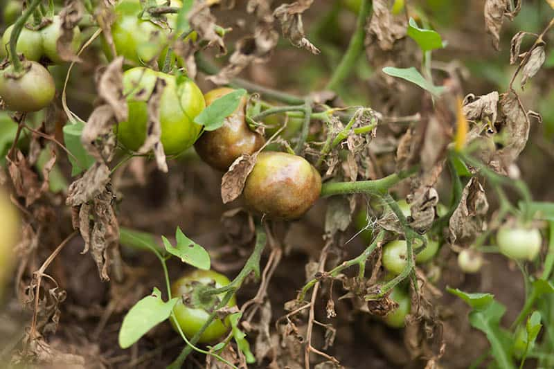 Fytoftóra paradajok