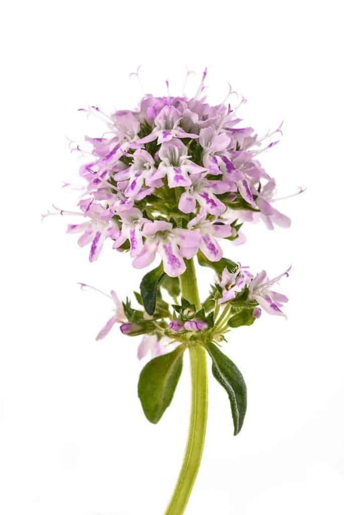 Saturejka záhradná - kvet