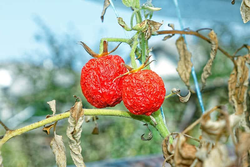 Slnečný úpal - choroby paradajok