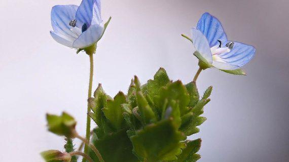 Veronika lekárska - liečivá rastlina