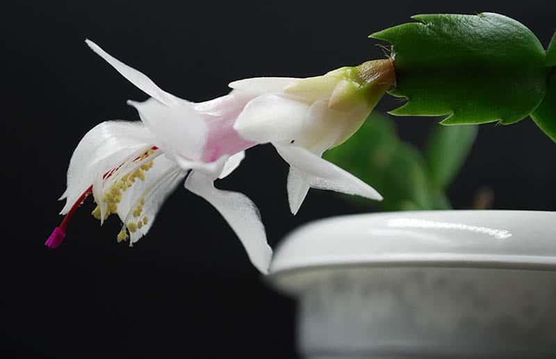 Biely vianočný kaktus