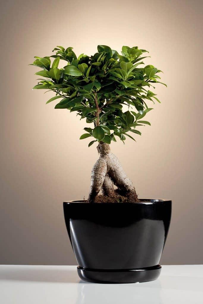 FIkus - bonsai