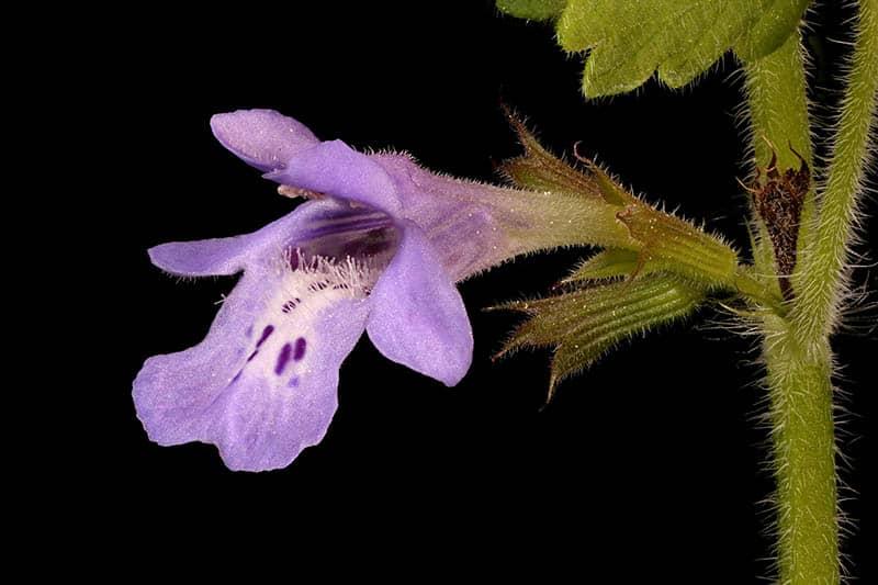 Zádušník brečtanovitý - kvet