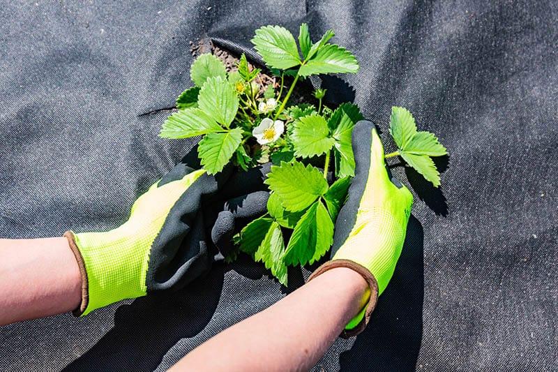 Ako sadiť jahody