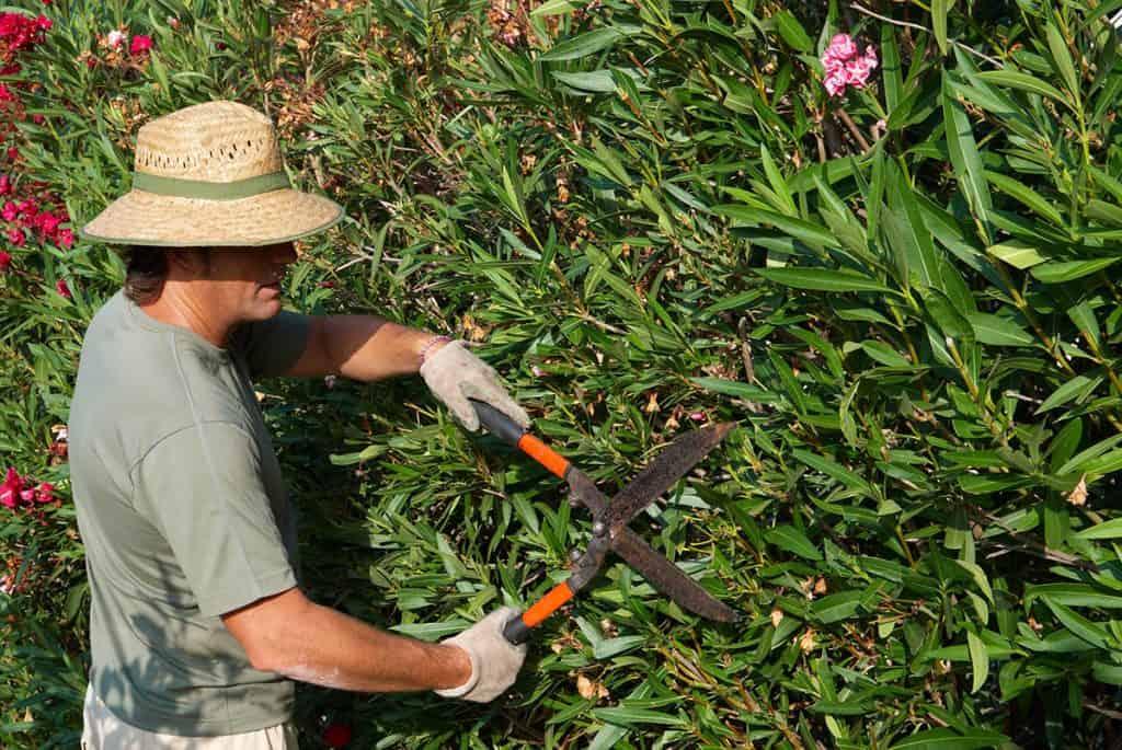 Kedy strihať oleander
