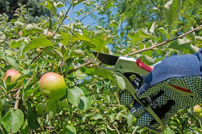 Ako strihať jablone