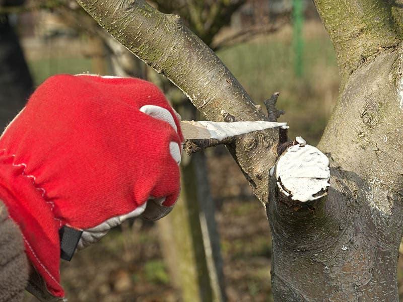Kedy strihať jablone - ošetrenie jabloní