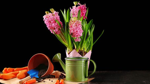 Hyacint vo váze