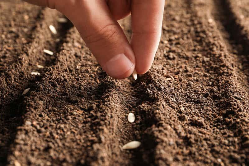 Kedy sadiť mrkvu - sadenie semienok