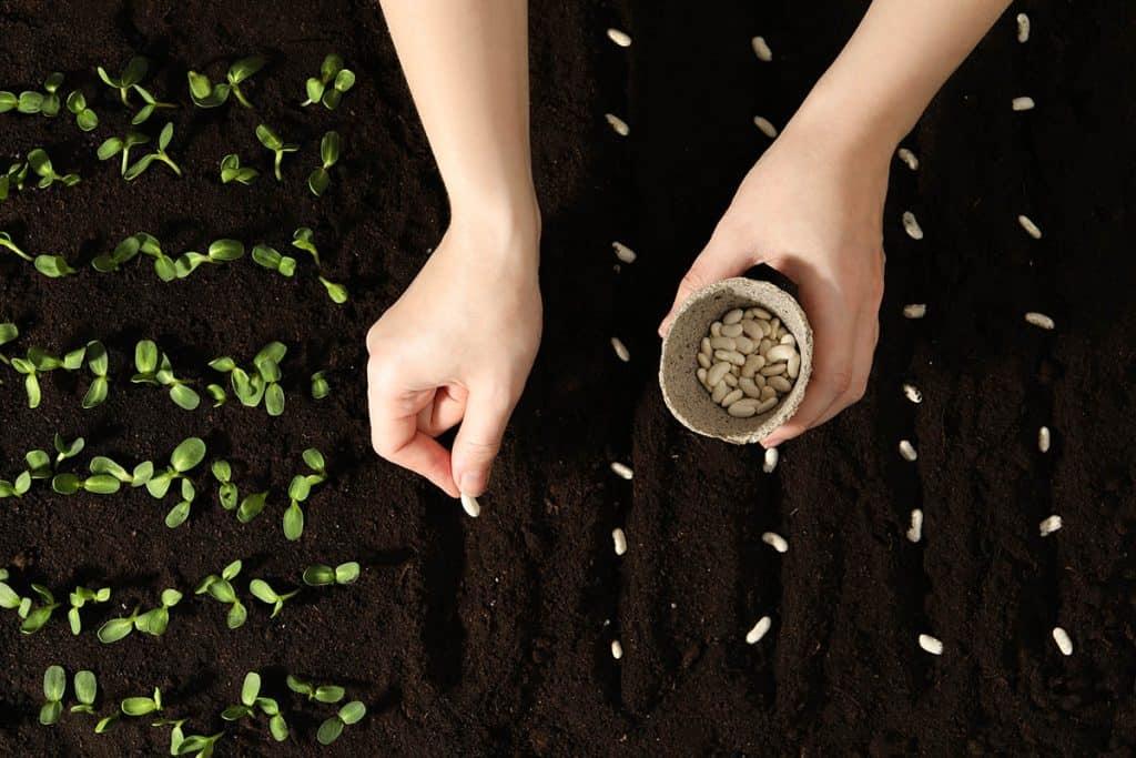Kedy sadiť fazuľu